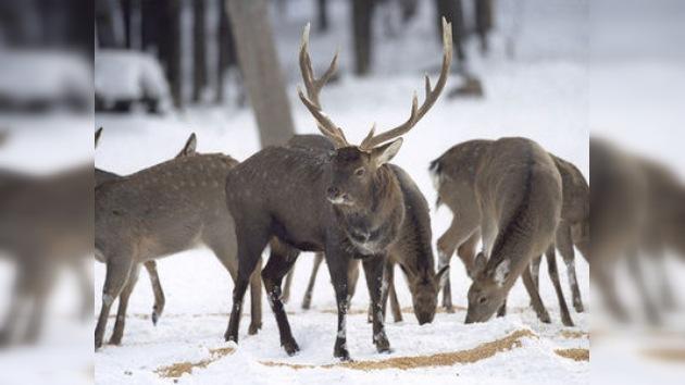 Los collares reflectantes salvan la vida de los renos en Noruega