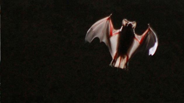 Murciélagos portadores del ébola pueden ser clave para acabar con la epidemia