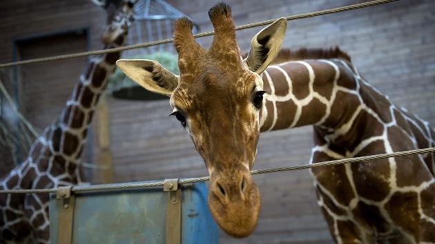 El despiece de una jirafa delante de niños en un zoo de Dinamarca desata la polémica