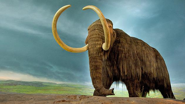 Hallan células 'vivas' de mamut en Siberia