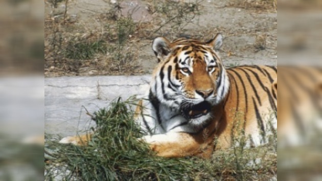 13 países debatirán el futuro del tigre