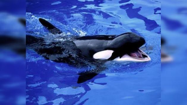 Una orca mata a su adiestradora en Florida