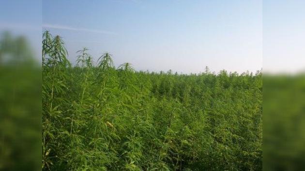 La policía de California decomisa 25.000 plantas de marihuana