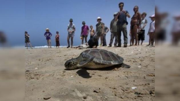 Clínicas veterinarias intentan salvar a las tortugas de las costas de Israel