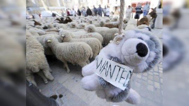 Imágenes: ovejas y cabras protestan en Francia