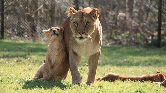 El sacrificio de una familia de leones en un zoo causa indignación en el Reino Unido