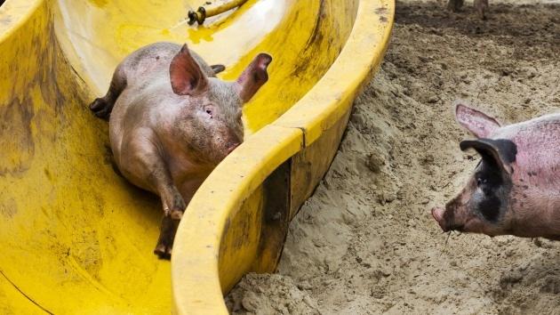 Fotos: Un granjero holandés instala un tobogán para hacer a sus cerdos más felices
