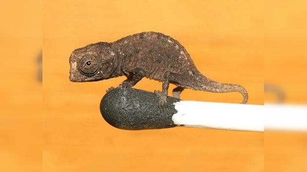 Hallan en Madagascar al camaleón más pequeño del mundo