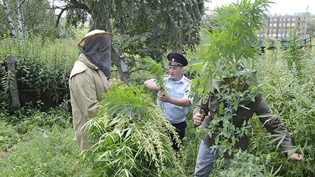 Abejas agresivas atacan a policías rusos al intentar destruir plantación de cannabis