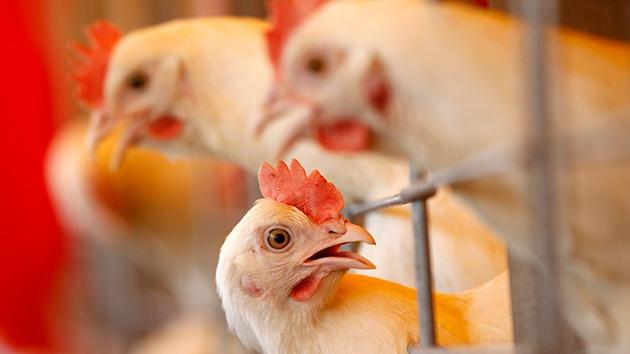 Hallan un nuevo estado de la materia en los ojos de una gallina