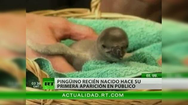 Zoológico en EE.UU. presentó a uno de sus dos pingüinos recién nacidos al público