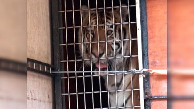 Un triste tigre hallado en Moscú recupera el apetito