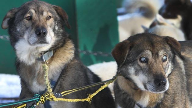Perro ciego tirador de trineo se convierte en atracción turística en EE.UU.