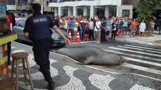 Video: León marino cruza la calle en plena ciudad brasileña