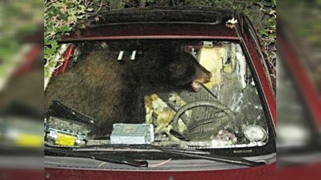 Un oso negro conduce un Toyota en Colorado