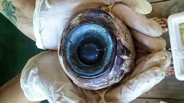 Un enorme ojo de un animal desconocido aparece en una playa de Florida