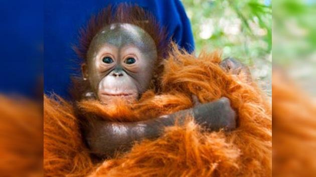El nuevo héroe del zoo de Houston, la cría de orangután de Borneo, busca nombre