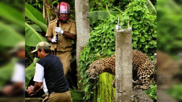La 'ley de la selva' se revuelve contra un leopardo indio acuchillado por aldeanos