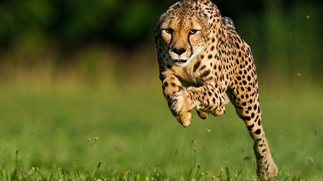 Un guepardo 'se come' el record de velocidad