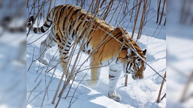'Tres tristes tigres' no es un trabalenguas en el Oriente Lejano ruso