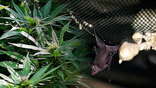Uruguay apuesta por usar excrementos de murciélago en el cultivo de marihuana