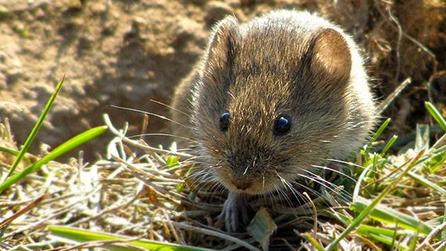 Crean ratones transparentes para poder estudiar cáncer al nivel celular
