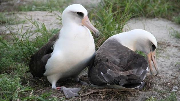 Maravilla de Hawái: El ave marina más vieja da una cría a sus 62 años
