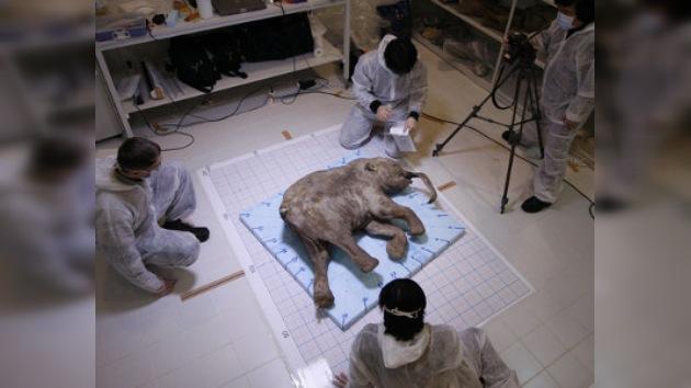 Un cachorro de mamut podría 'renacer' gracias a la clonación