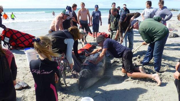 Inexplicable muerte masiva de casi 100 ballenas y delfines en Tasmania