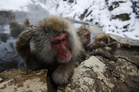 Los Monos De Nieve Que Saben Cómo Lidiar Con El Frío