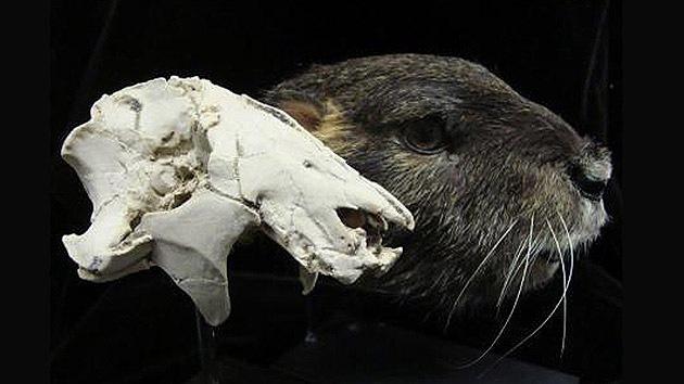 Un raro cráneo revoluciona la idea sobre los mamíferos de la era de los dinosaurios