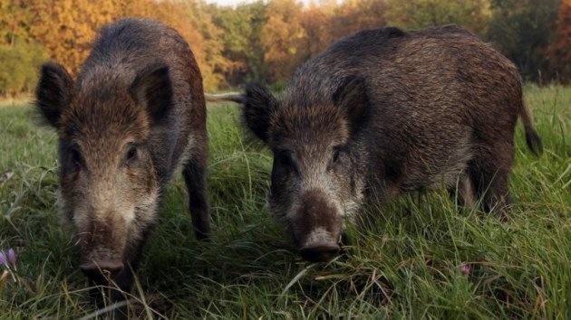 La Policía salva a dos alemanes de una manada de jabalíes