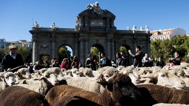 Unas 2.000 ovejas inundan Madrid en la Fiesta de la Trashumancia
