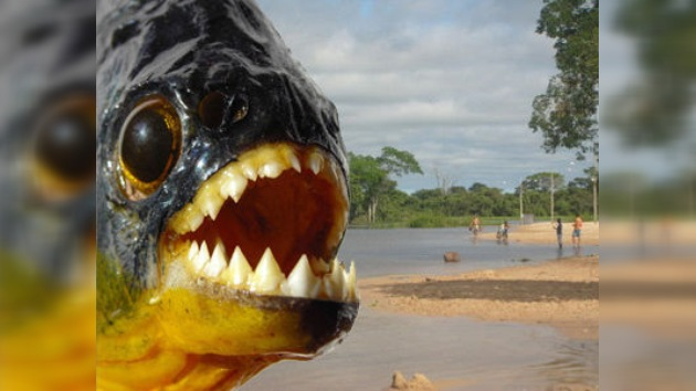 Pirañas atacan a nadadores en el río Paraná