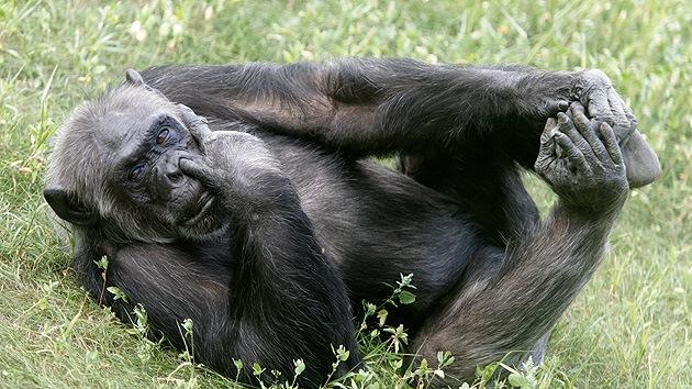 Científicos descifran el lenguaje corporal de los chimpancés