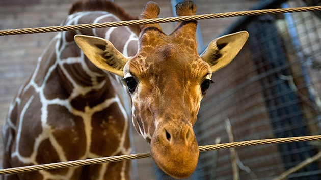 Otra jirafa llamada Marius podría ser sacrificada en un zoo danés