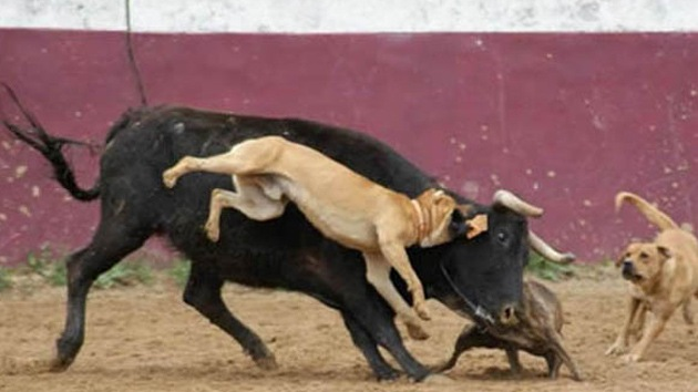 Un torero publica las imágenes de unos perros despellejando a un toro