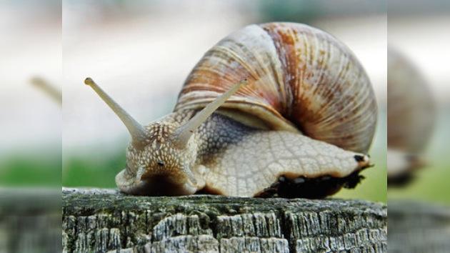 El robusto caparazón de un caracol ayudará a la protección de ejércitos