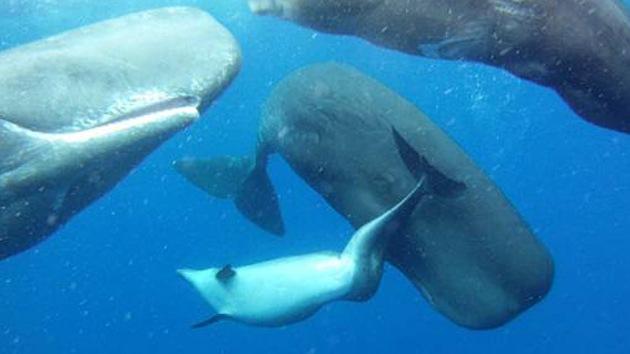 Un grupo de cachalotes acogen a un delfín enfermo