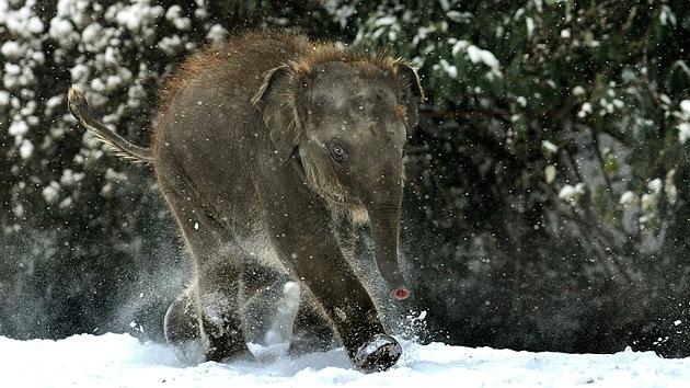 Nace el mamut enano para la ciencia