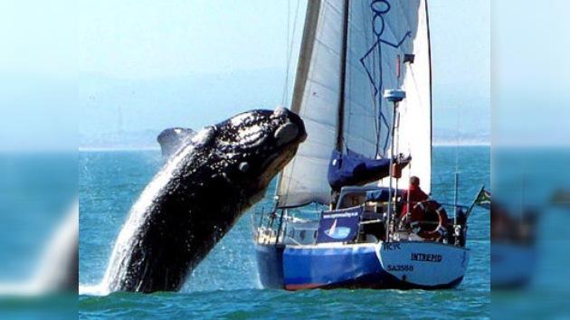 Ballena de 40 toneladas ataca un yate
