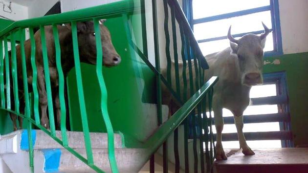 Una vaca sube a un quinto piso, escapando de la 'impaciencia sexual' de un toro