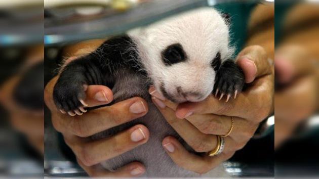 Dos pandas recién nacidos hacen su primera aparición en público en Madrid