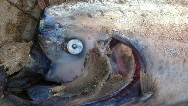 Video: La aparición de otro pez remo gigante en California causa furor