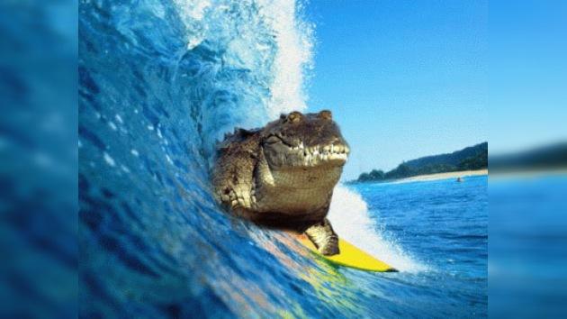 Cocodrilos: surfers natos