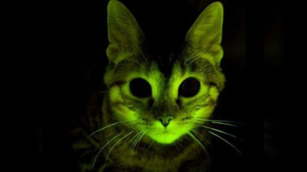 Gatos fluorescentes ayudarán a combatir el VIH