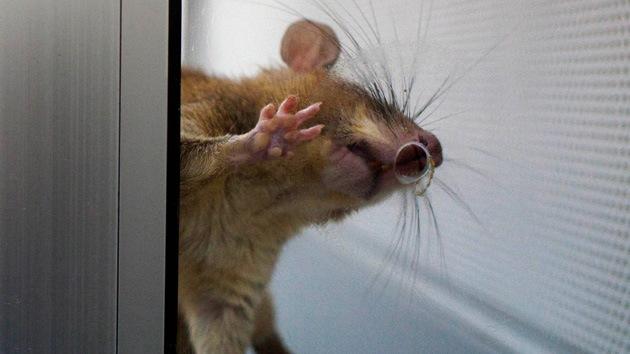 'Reality show' en el laboratorio: siga en directo el efecto de los trasgénicos en ratones