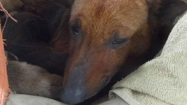 Una perra salvó a un bebé abandonado de morir de frío en Argentina