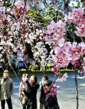 En medio del luto por víctimas del tsunami, los japoneses acuden a parques para observar la sakura