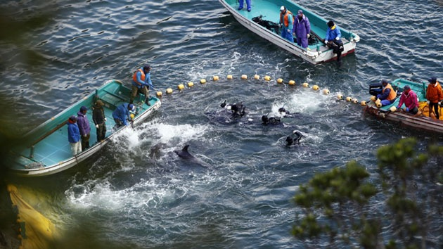 Activistas fotografían una atroz matanza de delfines en una bahía de Japón
